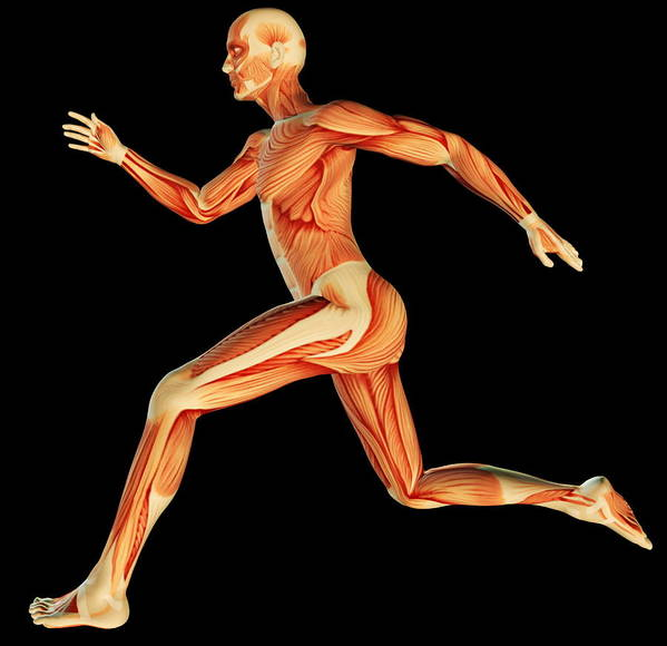 Muscular System Poster featuring the photograph Muscular System by Pasieka