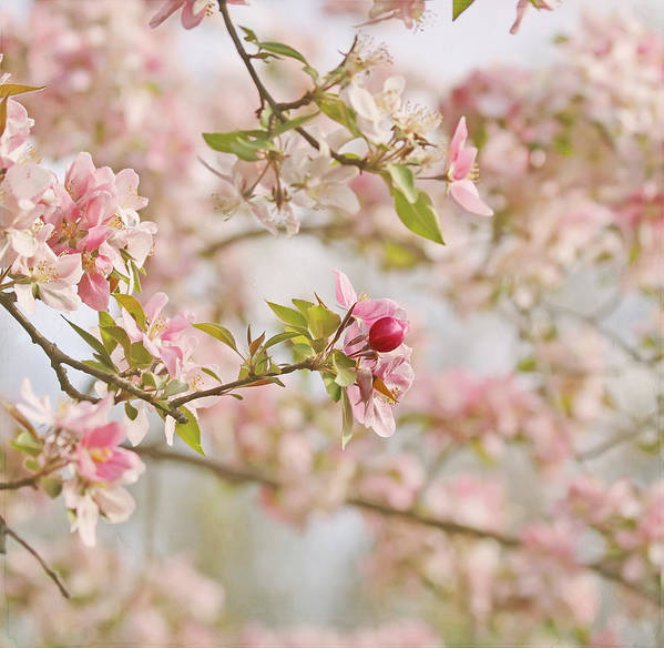 Cherry Blossom Poster featuring the photograph Cherry Blossom Delight by Kim Hojnacki