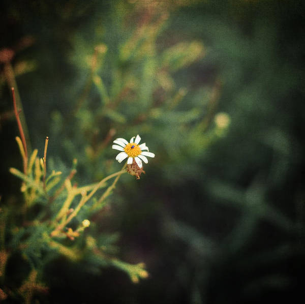 Daisy Poster featuring the photograph Alone by Taylan Soyturk