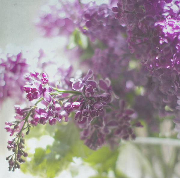 Lilacs Poster featuring the photograph Lalac Bokeh by Rebecca Cozart