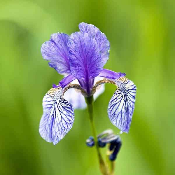 Blue Poster featuring the photograph Blue Iris by Frank Tschakert