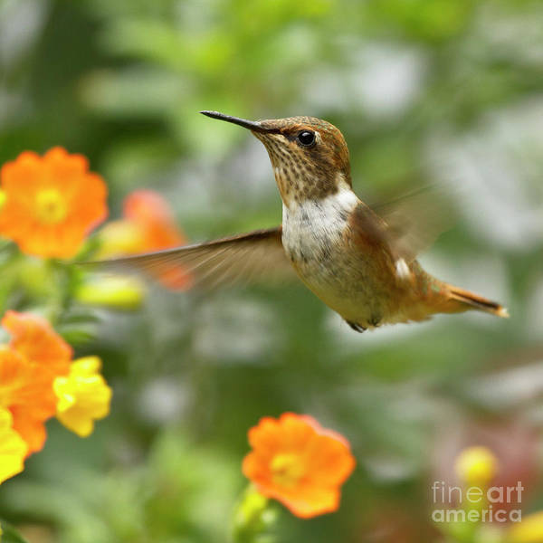 Rufous Hummingbird Poster featuring the photograph Flying Scintillant Hummingbird by Heiko Koehrer-Wagner
