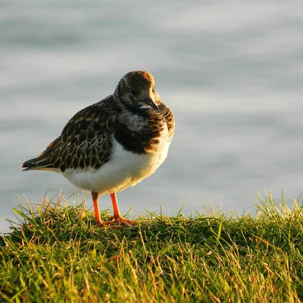 Sea Birds Poster featuring the photograph Little Turnstone by Sharon Lisa Clarke