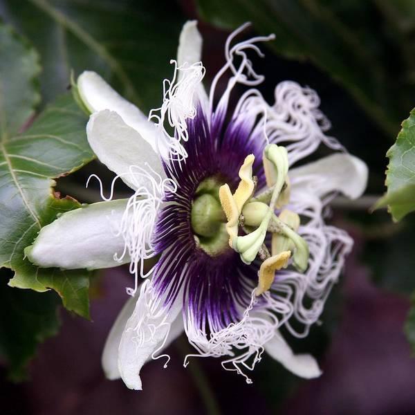 Unique Flowers Poster featuring the photograph Pasionfruit Flower by Jeffrey Lee