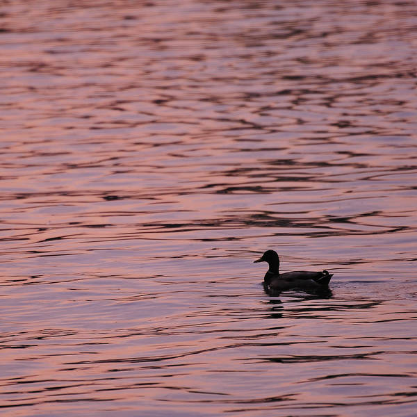 Pink Poster featuring the photograph Pink Sunset With Duck In Silhouette by Marianne Campolongo