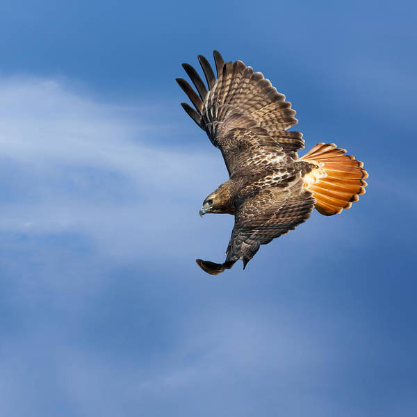 Redtail Hawk Poster featuring the photograph Red-tailed Hawk Soaring Square by Bill Wakeley