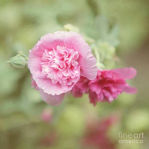 Rose Of Sharon Poster featuring the photograph Rose Of Sharon by Kay Pickens
