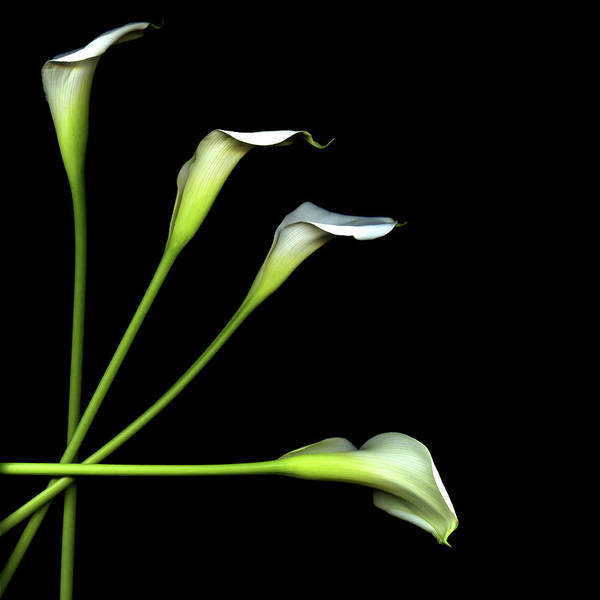 Square Poster featuring the photograph Calla Lily by Photograph by Magda Indigo