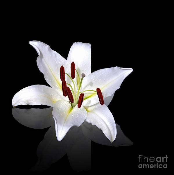 Anniversary Poster featuring the photograph White Lily by Jane Rix