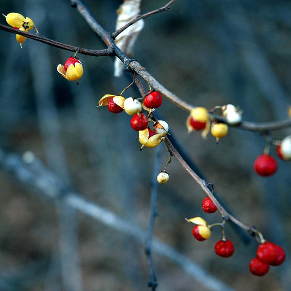 Usa Poster featuring the photograph Wild Red Berries Out Of The Shell by LeeAnn McLaneGoetz McLaneGoetzStudioLLCcom
