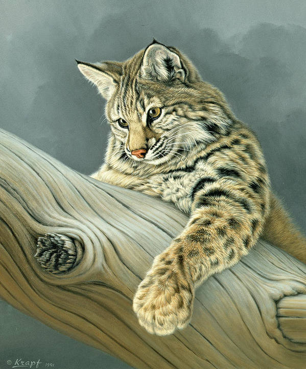 Wildlife Poster featuring the painting Curiosity - Young Bobcat by Paul Krapf