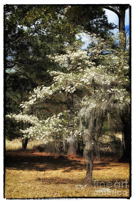 Plantation Tree Poster featuring the photograph Plantation Tree by John Rizzuto