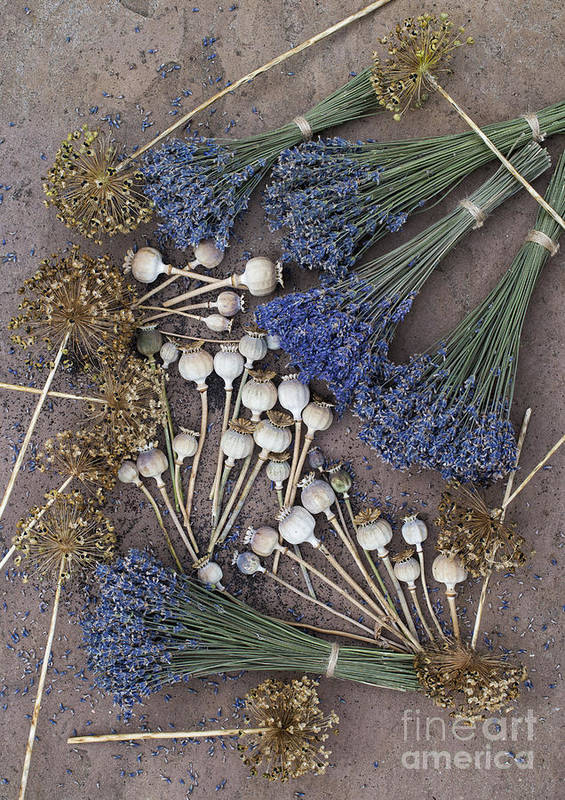 Poppy Poster featuring the photograph Poppy Seed Pods And Dried Lavender by Tim Gainey