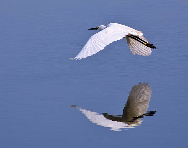 Egret Poster featuring the photograph Snowy Egret In Flight by Robert Jensen