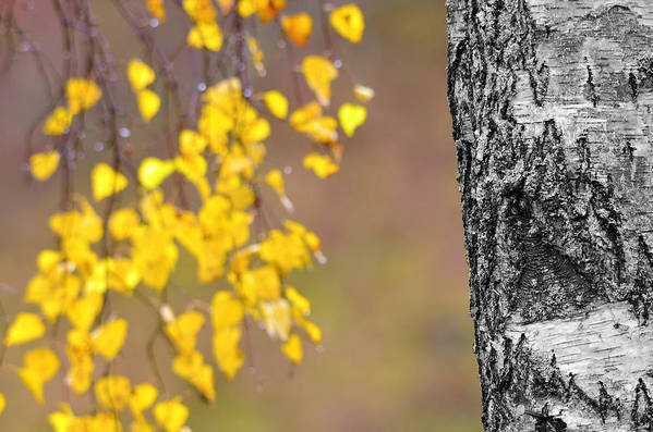 Birch Poster featuring the photograph A Birch At The Lake by Toppart Sweden
