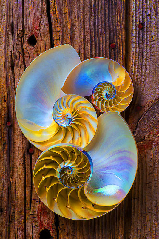 Three Chambered Nautilus Poster featuring the photograph Abstract Chambered Nautilus by Garry Gay