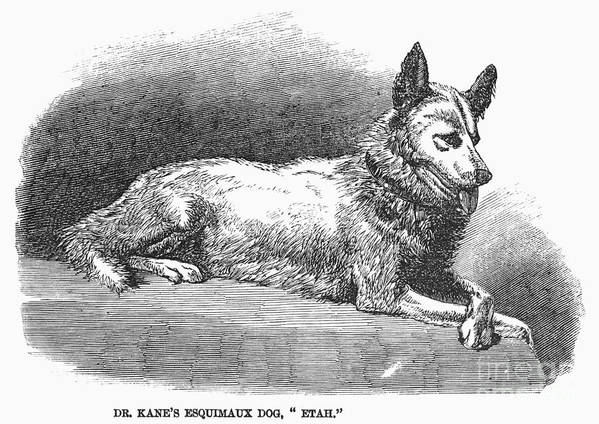 1858 Poster featuring the photograph Alaskan Husky by Granger