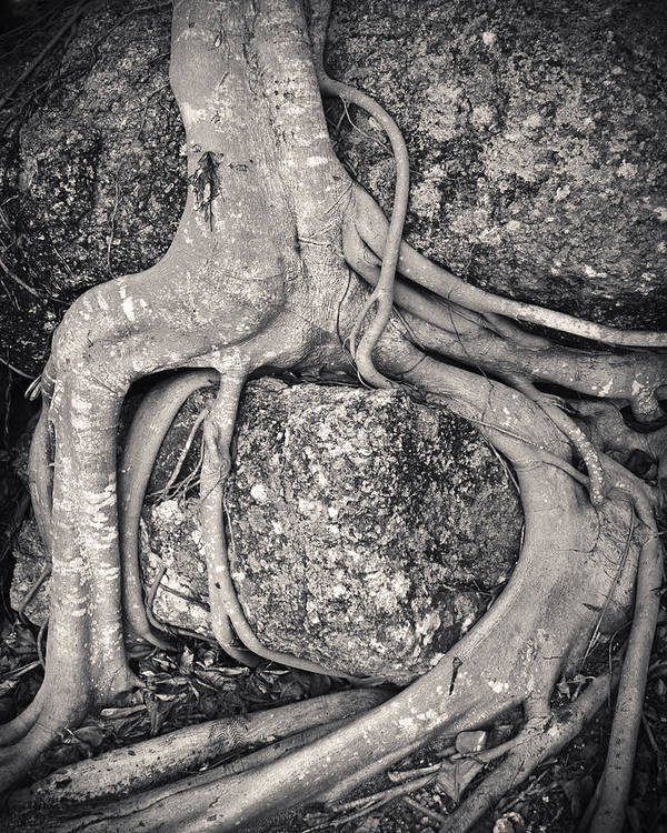 3scape Photos Poster featuring the photograph Ancient Roots by Adam Romanowicz