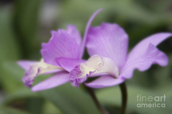 Aloha Poster featuring the photograph Angels Treasure Hawaii Orchid by Sharon Mau