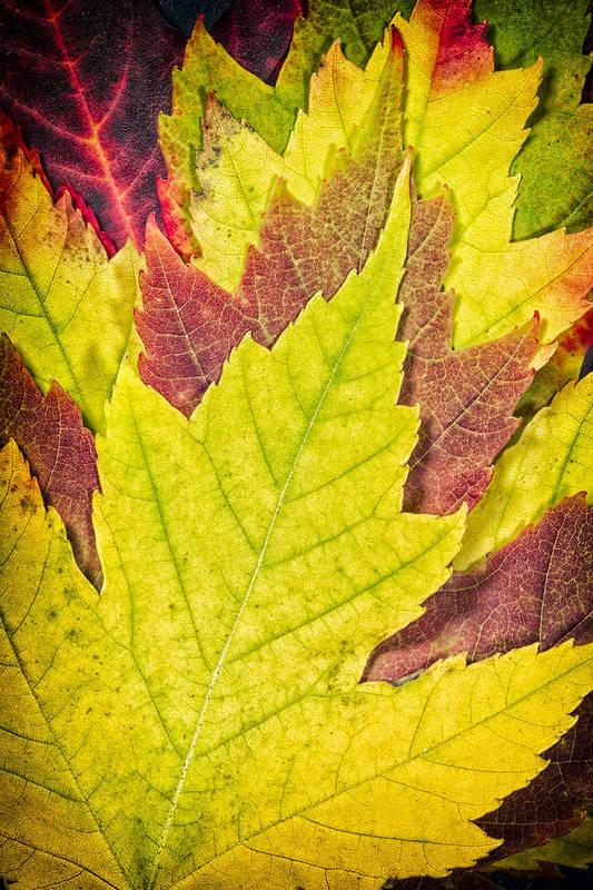 3scape Photos Poster featuring the photograph Autumn Maple Leaves by Adam Romanowicz