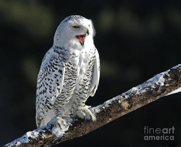 Awakened Poster featuring the photograph Awakened- Snowy Owl Laughing by Inspired Nature Photography Fine Art Photography