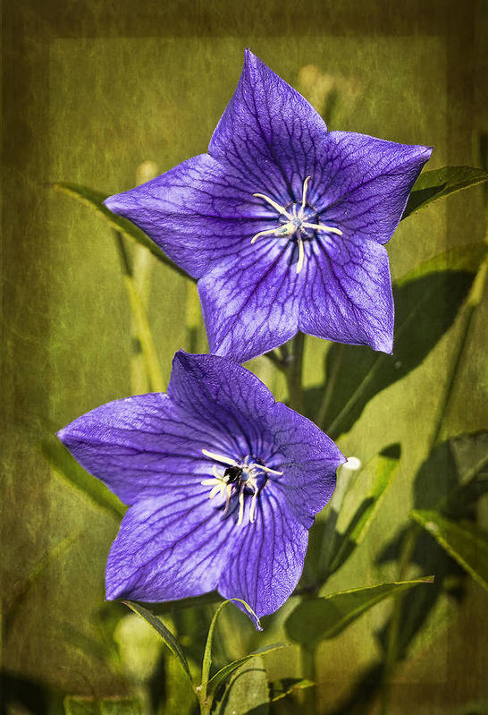 Flower Poster featuring the photograph Balloon Flower by Marcia Colelli