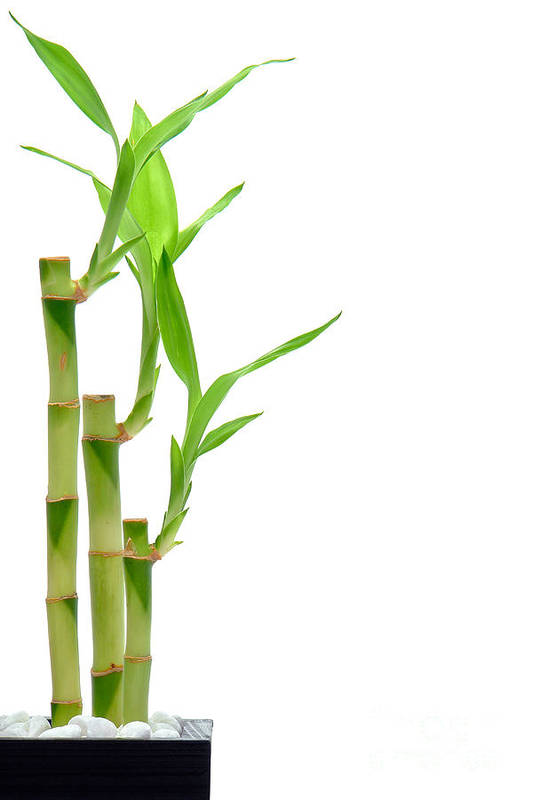 Bamboo Poster featuring the photograph Bamboo Stems In Black Vase by Olivier Le Queinec