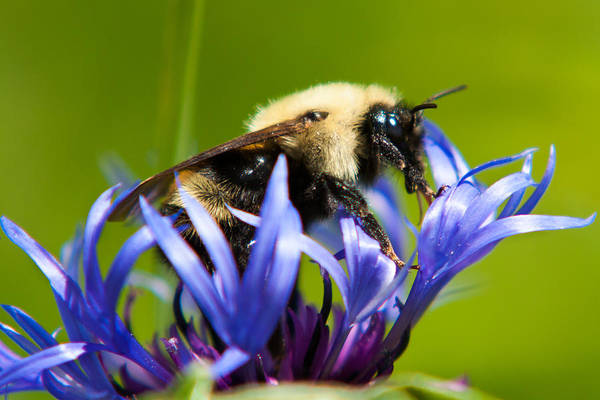 Bachelor's Button Poster featuring the photograph Bee On A Blue Flower by Matt Dobson