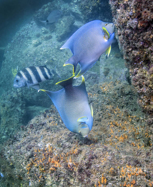Fish Poster featuring the photograph Blue Angelfish Feeding On Coral by Michael Wood