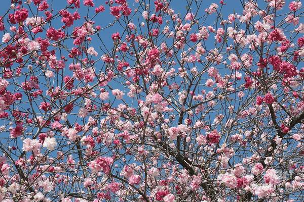 Spring Blossoms Poster featuring the photograph Branches And Blossoms by Carol Groenen