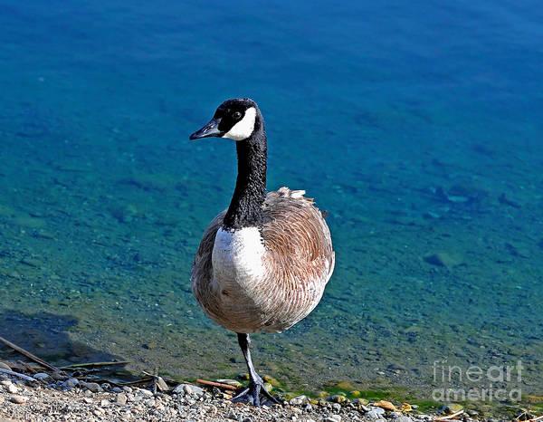 Susan Wiedmann Poster featuring the photograph Canada Goose On One Leg by Susan Wiedmann