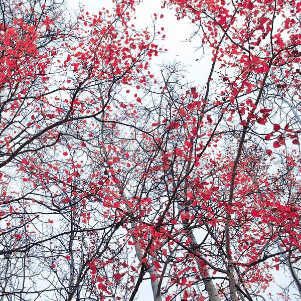 Red Poster featuring the photograph Canopy Trees by Priska Wettstein