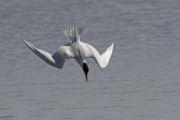 Tern Poster featuring the photograph Caspian Tern Dive by Jim Nelson