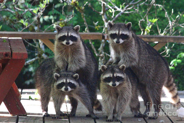 Animals Poster featuring the photograph Cheerleading Raccoons by Kym Backland