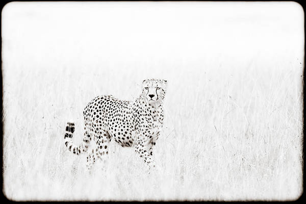 Africa Poster featuring the photograph Cheetah In The Grass by Mike Gaudaur