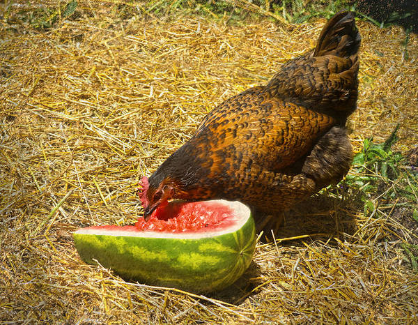 Mahogany Favorolle Chicken Poster featuring the photograph Chicken And Her Watermelon by Sandi OReilly