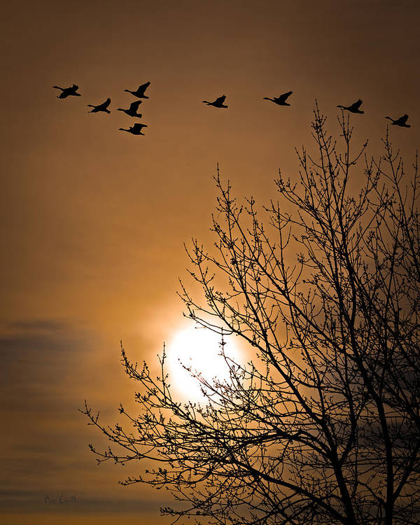 Geese Poster featuring the photograph Coming Home In The Spring by Bob Orsillo