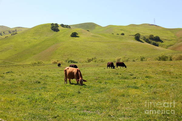 Bayarea Poster featuring the photograph Cows Along The Rolling Hills Landscape Of The Black Diamond Mines In Antioch California 5d22350 by Wingsdomain Art and Photography