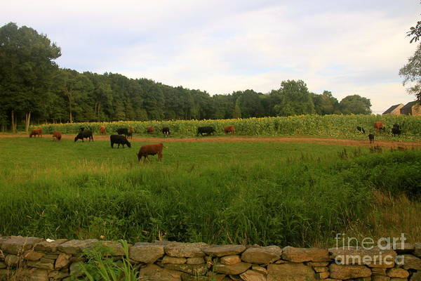 Cows At Buttonwood Poster by Dorothy Drobney