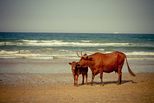Agriculture Poster featuring the photograph Cows On Sea Coast by Raimond Klavins