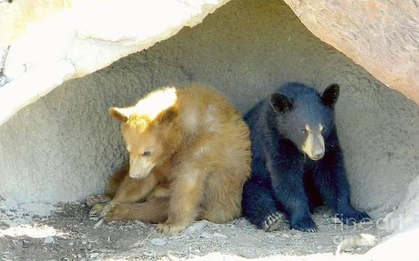 Bear Cubs Poster featuring the photograph Cubs In A Pod by Kim Petitt