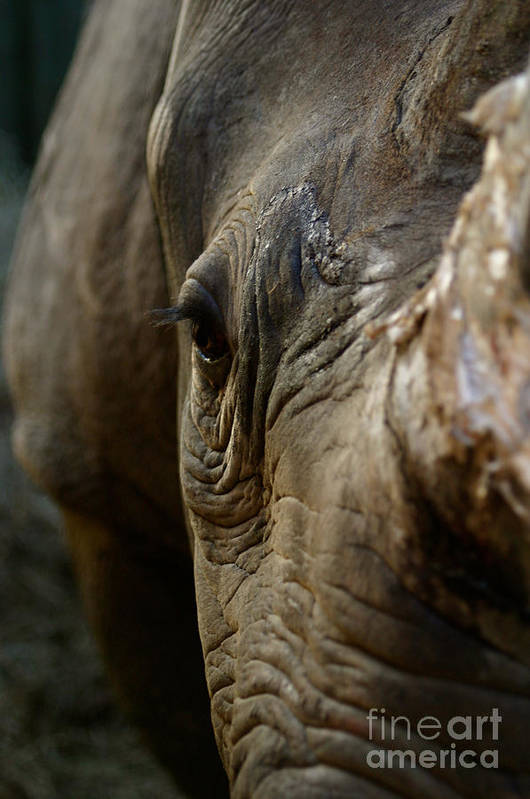 Black Rhino Poster featuring the photograph Curiosity by Alison Kennedy-Benson