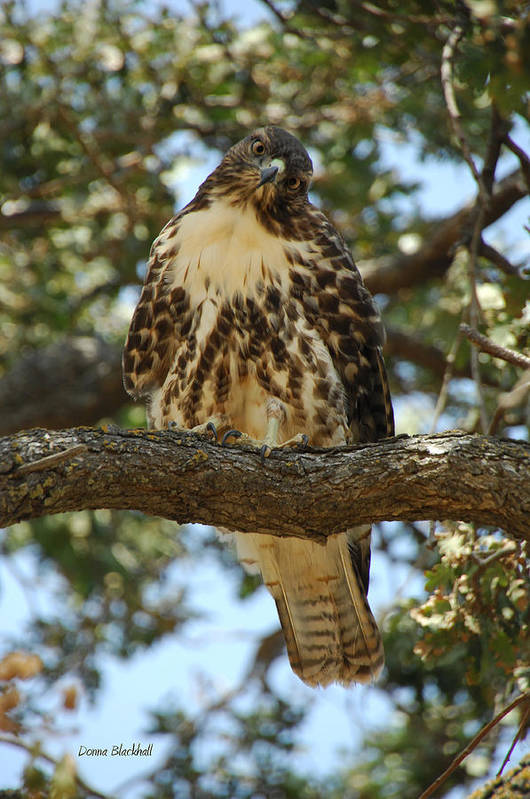 Hawk Poster featuring the photograph Curious Redtail by Donna Blackhall