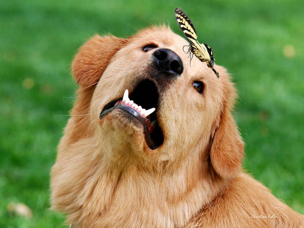 Golden Poster featuring the digital art Dog And Butterfly by Christina Rollo