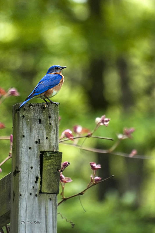 Bluebird Poster featuring the photograph Eastern Bluebird by Christina Rollo