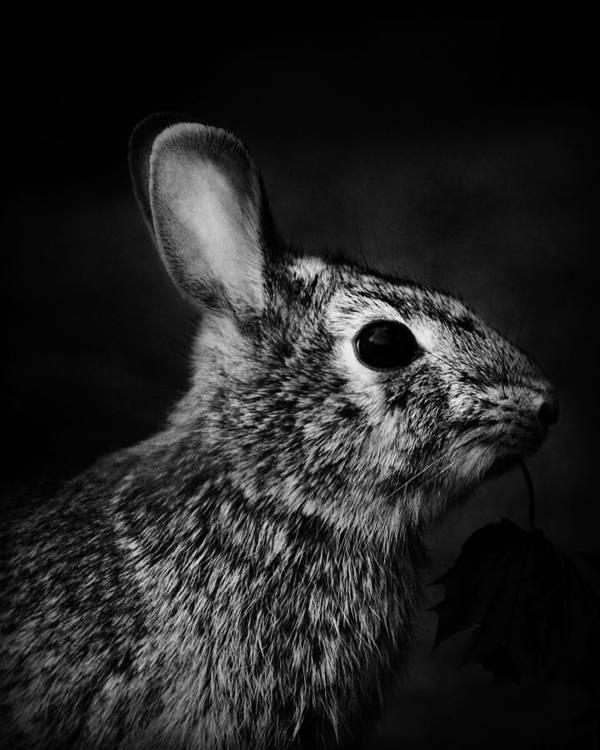 Nature Poster featuring the photograph Eastern Cottontail Rabbit Portrait by Rebecca Sherman