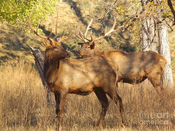 Mammal Poster featuring the photograph Evening Sets On The Elk by Robert Frederick