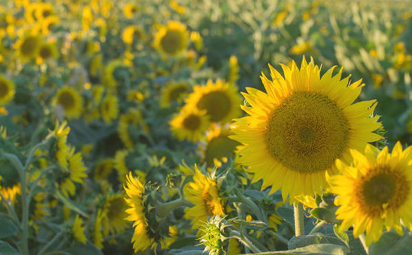 Sunflower Poster featuring the photograph Field Of Happiness by Rima Biswas