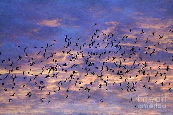 Animal Poster featuring the photograph Flight Of The Blackbirds by Darren Fisher