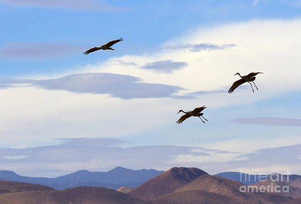 Sandhill Crane Poster featuring the photograph Flight Of The Sandhill Cranes by Mike Dawson
